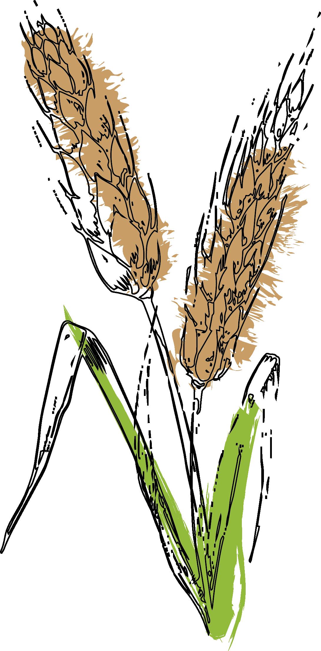 Aehre Getreide