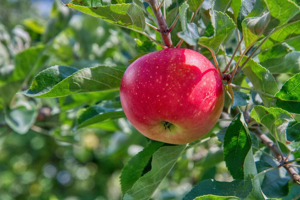 Apfel Süssmost_2